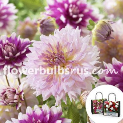 Perfect Partners Gift Bag Blueberry & Cream, dahlia, flower bulbs, flowers, garden