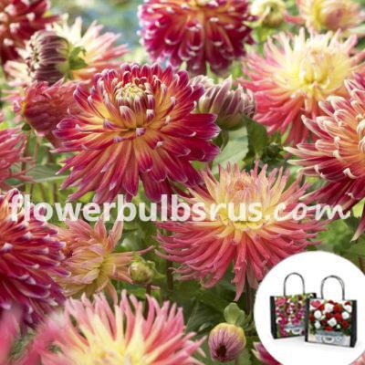 Perfect Partners Gift Bag Dahlia Pink Stars, dahlia, flower bulbs