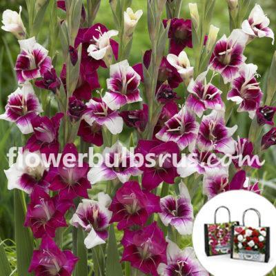 Perfect Partners Gift Bag Gladiolus Purple Rain, gladiolus, flower bulbs, flowers