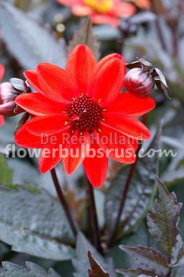 Dahlia Pulp Fiction, dahlia, flowers, flower bulbs, garden