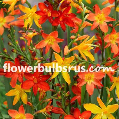 crocosmia, king of orange, flower bulb, flowers, garden