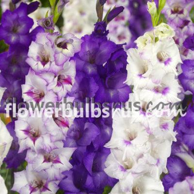 gladiolus Passionate Hues, gladiolus, flower bulb, flower, garden