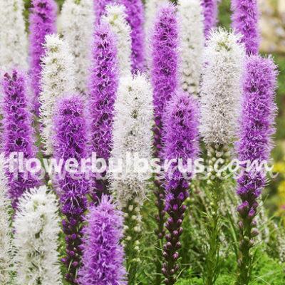 liatris, flowers, flower bulbs, pollen, butterfly hub, Create a pollinator paradise in your garden