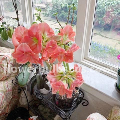 Lisa from Toronto loves her Amaryllis, flower bulbs, garden, indoor flower