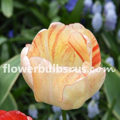Tulip Silverstream, tulip, flowers