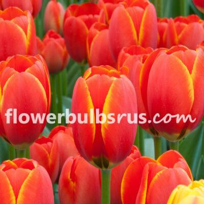 Tulip World's Favourite, tulip, flower