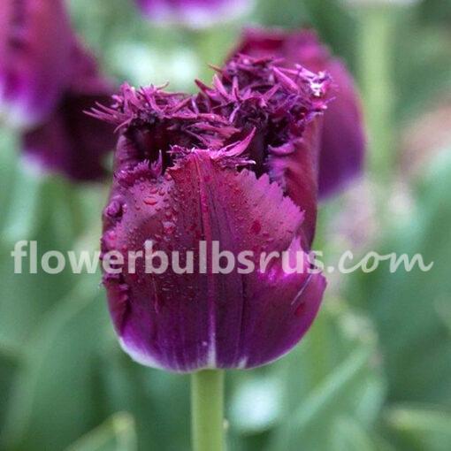 Tulip Purple Crystal, tulip, flower