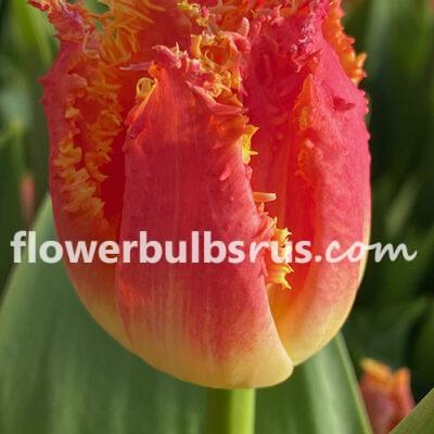 Tulip Joint Division, tulip, flower bulb
