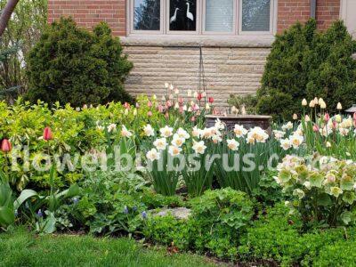 amaryllis, flower bulb, garden