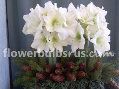 amaryllis,, garden, flower bulbs